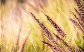 Preview wallpaper Grass spikelets, blurry