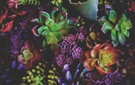 Houseplants, folhas coloridas, succulents