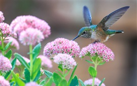 Preview wallpaper Hummingbirds and pink flowers