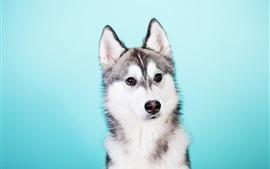 Husky cão, fundo azul