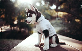 Preview wallpaper Husky dog, clothing