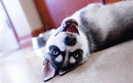 Husky dog play in room