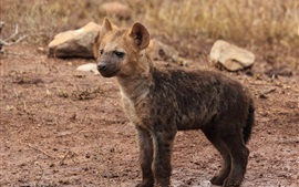 Preview wallpaper Hyena cub close-up