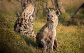 Hyenas in the grass