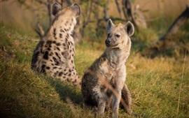 預覽桌布 鬣狗在草地上