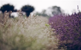 Preview wallpaper Lavender field, blur background