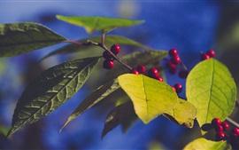 Листья, ветки, красные ягоды