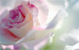 Preview wallpaper Light pink rose flower macro photography, water drops