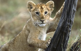 Preview wallpaper Lion cub want to climb tree