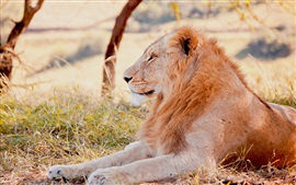 Preview wallpaper Lion lying grass