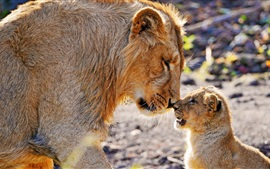 Lion mother caring lion cub