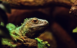 Preview wallpaper Lizard, reptile, macro photography
