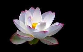 Lotus, flower close-up, white pink petals, black background