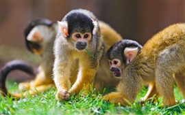 Preview wallpaper Monkeys, grass
