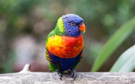 Preview wallpaper Multicolor parrot, beak, eye