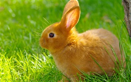 Orange rabbit, grass