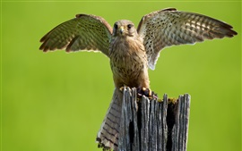 Owl, wings, stump