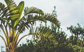 Aperçu fond d'écran Palmiers, feuilles