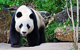Panda vista de frente, pé, pedras