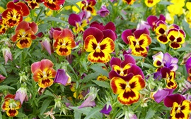 Preview wallpaper Pansies, purple yellow petals