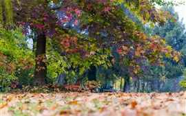 Preview wallpaper Park, maple trees, leaves, autumn