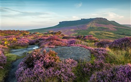 Preview wallpaper Peak District National Park, lavender flowers, UK