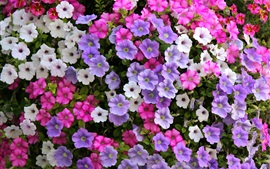 Petunia flowers, white, purple, pink