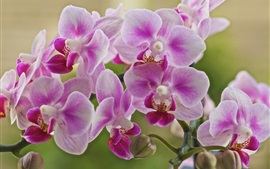 Preview wallpaper Phalaenopsis, pink flowers