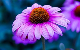 Preview wallpaper Pink echinacea flower photography, petals