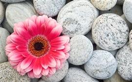 Розовый цветок герберы и камни