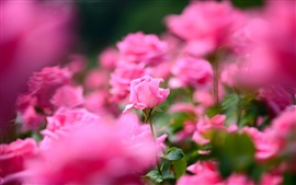Preview wallpaper Pink rose flowers photography, bokeh