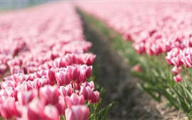 Pink tulips field, blurry background
