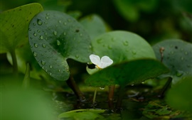 Plant, flower, water droplets, green leaves