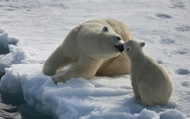 Preview wallpaper Polar bears love kiss, snow