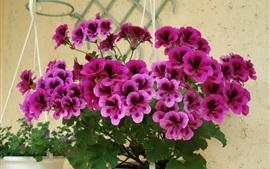 Flores de gerânio roxo