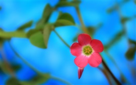 Vermelho, flor, close-up, azul, fundo