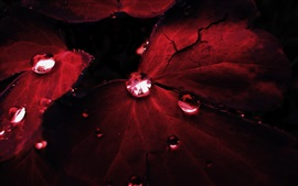 Red leaves, water drops