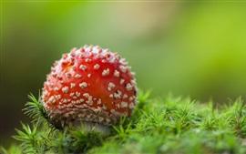 Aperçu fond d'écran Champignons rouges, herbe