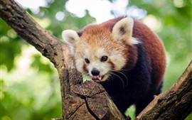 Red panda in tree, bokeh