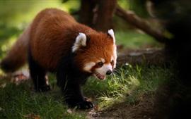 Caminata de panda roja, bostezo
