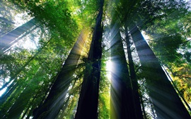 Preview wallpaper Redwood forest, trees, sunlight