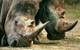 Голова носорога крупным планом, рога