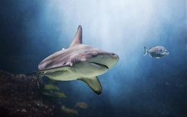 Preview wallpaper Shark and fish underwater