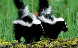 Preview wallpaper Skunks couple, black and white fur