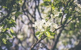 Spring, tree, white flowers, twigs, leaves