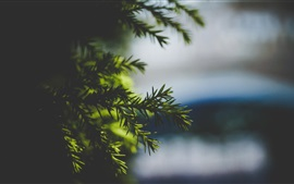 Spruce twigs, blurry background