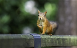 Preview wallpaper Squirrel close-up, blurry background