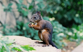 Preview wallpaper Squirrel eating food, rodent photography