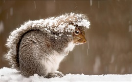 Preview wallpaper Squirrel, snow, winter
