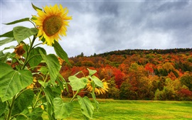 Sunflower, mountain, trees, grass, autumn